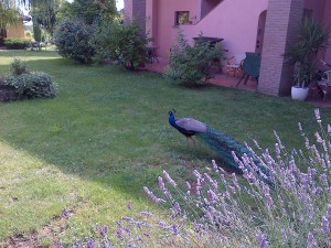 A Ravenna peacock